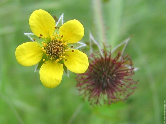 Flore  62429531galerie-membre-fleur-benoite-benoite-3-jpg
