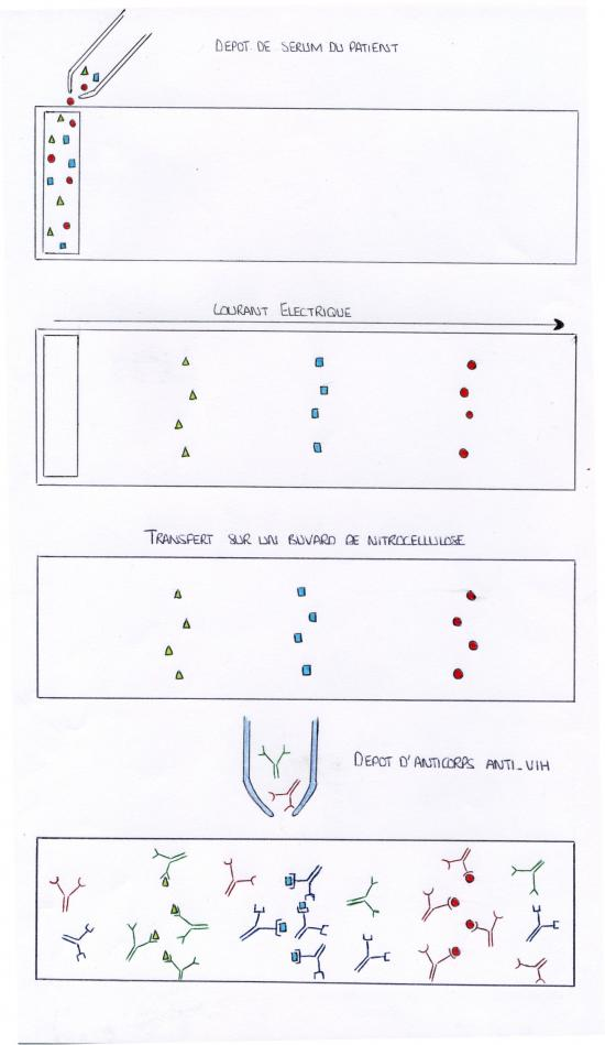 Comment d pister le virus du sida gr ce au test western blot for Fenetre serologique