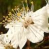 élixir cerisier