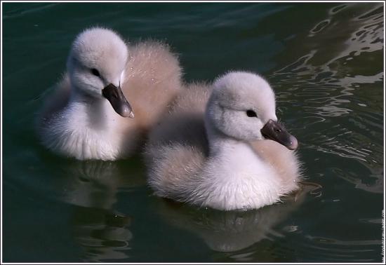 http://s1.e-monsite.com/2009/05/15/02/72565408a-galerie-membre-oiseau-cygne-cygnons-goutte-d-eau-jpg.jpg