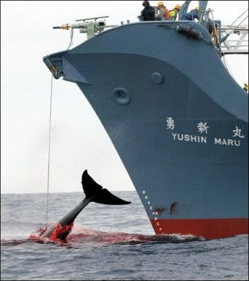 Un baleinier nippon accusé d'avoir fait couler le bateau d'une ONG