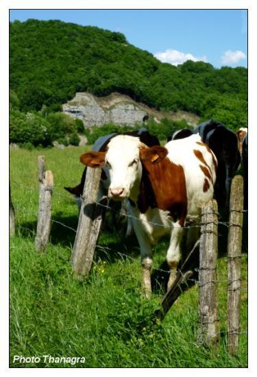Vache montbéliardaise