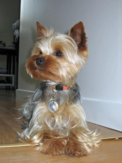 Toilettage - Modele de coupe pour yorkshire terrier ...