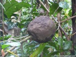 Termitière en forêt tropicale, Guadeloupe