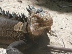 Iguane de Petite-Terre