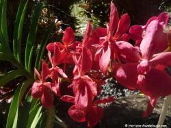 Orchidée rouge