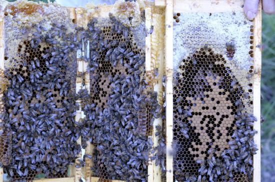 Cadre d'élevage avec couvain et miel