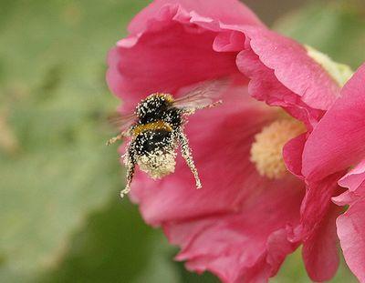 pollen d 39 abeille. Black Bedroom Furniture Sets. Home Design Ideas