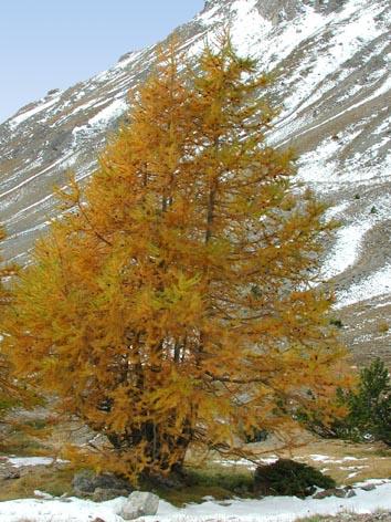 Stunning Mélèze De Sibérie Pictures - Joshkrajcik.us - joshkrajcik.us