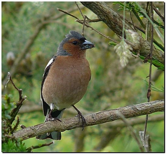 Pinson des arbres - Chants oiseaux des jardins ...