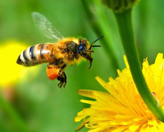 Les abeilles sauvages peuvent-elles remplacer les abeilles domestiques ?