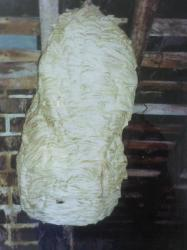 Nid de Frelons de 70 cm de diamètre