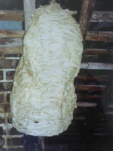 Nid de Frelon Récolté au Moulin de Prey en Novembre 1999 Photo A.M.B