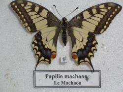 Papilio machaon Leg. Coll. Photo A.M.B
