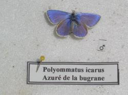 Argus bleu M Leg.Coll.A.M.B