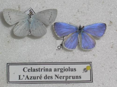 L'Azuré des Nerpruns M. endroit/envers