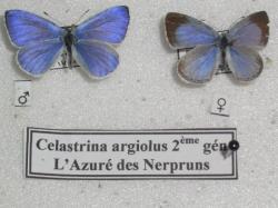 L'Azuré du Nerpruns Leg. Coll. photo A.M.B 2010