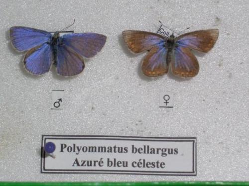 L'Azuré bleu céleste