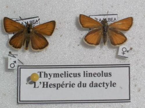 Thymelicus lineolus Photo A.M.B 2009