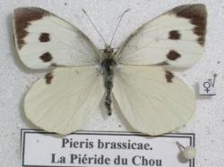 Pieris brassicae Piéride du Chou.Photo A.M.B