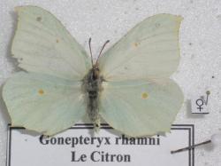 Citron Gonepteryx rhamni Femelle