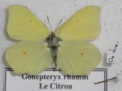 Gonepteryx rhamni mâle