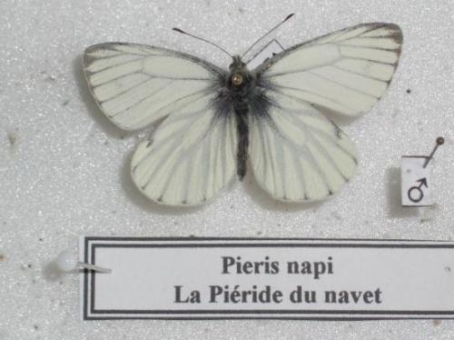 Pièride du Navet
