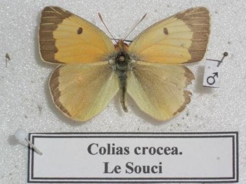 Le Souci f. jaune pâle