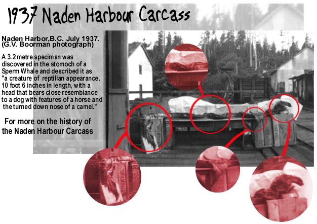 Cryptozoologie cryptozoology cadborosaurus cadboro caddy serpent de mer vancouver hiachuckaluck jeune spécimen 1937  capitaine cook survivor from the deep élan tête de cheval canada paul h leblond