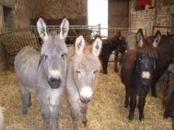 Les ânes de Brasseitte