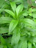 HUILE ESSENTIELLE de Menthe douce nana - France-Nature - Aromathérapie