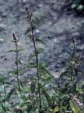 HUILE ESSENTIELLE de Menthe poivrée - France-Nature - Aromathérapie