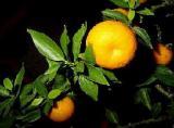 HUILE ESSENTIELLE d'Orange douce - France-Nature - Aromathérapie