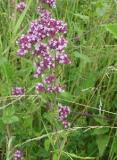 HUILE ESSENTIELLE d'Origan - France-Nature - Aromathérapie