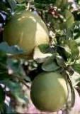 HUILE ESSENTIELLE de Pamplemousse - France-Nature - Aromathérapie