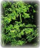 HUILE ESSENTIELLE de Persil - France-Nature - Aromathérapie
