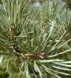 HUILE ESSENTIELLE de Pin sylvestre - France-Nature - Aromathérapie
