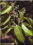 HUILE ESSENTIELLE de Santal naturel - France-Nature - Aromathérapie