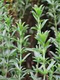 HUILE ESSENTIELLE de Sariette - France-Nature - Aromathérapie
