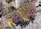 HUILE ESSENTIELLE de Serpolet - France-Nature - Aromathérapie
