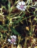 ELIXIR FLORAL de Bleuet - France-Nature - Élixirs floraux