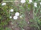 ELIXIR FLORAL de Camomille - France-Nature - Élixirs floraux