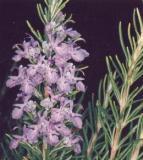 ELIXIR FLORAL de Romarin - France-Nature - Élixirs floraux