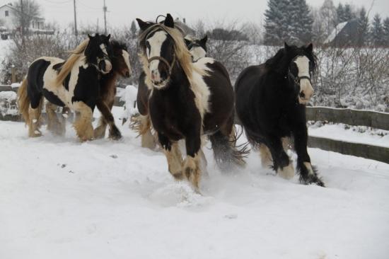 une partie du troupeau hiver 2009