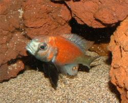 Haplochromis Hippo point salmon