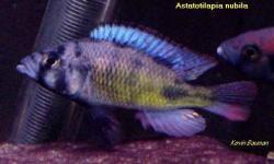 Haplochromis Riponiamus