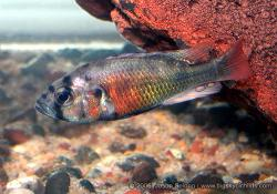 Haplochromis fire red