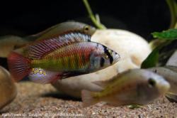 Haplochromis  xystichromis