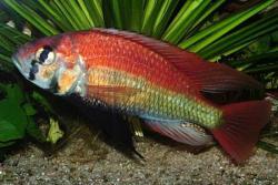 Haplochromis nuchisquamulatus