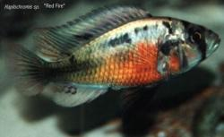 Haplochromis sp red fire